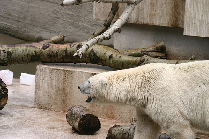 Why Polar Bears Should Not Be Kept In Warsaw Zoo